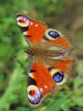Butterfly - European Peacock (Inachis io) Royalty Free Stock Images
