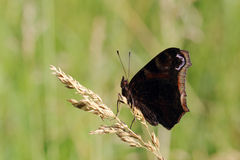 Butterfly - European Peacock (Inachis io) sitting on dry grass Royalty Free Stock Photo