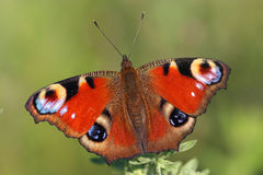 Butterfly - European Peacock (Inachis io) sitting on  grass Stock Photography