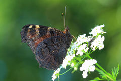 Butterfly - European Peacock (Inachis io) sitting on white flowe Royalty Free Stock Images