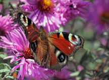 European Peacock butterfly on flower. Butterfly (european peacock) sitting on flower (chrysanthemum Royalty Free Stock Photography