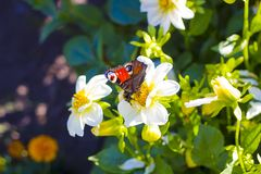 Butterfly European Peacock sitting on white flower royalty free stock photo