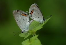 Butterfly  (Everes argiades Pallas). May 30, 2008, two mating butterflies (Everes argiades Pallas Stock Photo