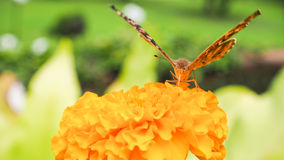 Butterfly expand his wing on the flower Royalty Free Stock Photography