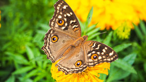 Butterfly expand their wing on yellow flower Stock Images