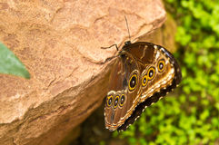 Butterfly. Eyed butterfly on a stone Stock Images