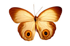 Butterfly with eyes. Butterfly with eye pattern to ward off predators Stock Photography