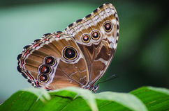 Butterfly eyespots Royalty Free Stock Images