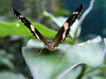 Butterfly face royalty free stock photos