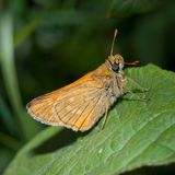 Butterfly of the family Hesperiidae called Large skipper stock images