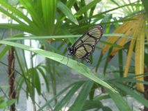 Butterfly family Ithomiidae. Royalty Free Stock Image