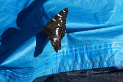 A butterfly of the family Lepidoptera Stock Photo