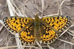 Small pearl-bordered fritillary Boloria selene upperside stock photos
