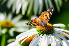 A butterfly from the family of the nymphalides is an admiral, sits on a large garden daisy Royalty Free Stock Photos
