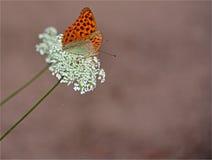 BUTTERFLY-FARFALLA MAGNIFICA Royaltyfri Bild
