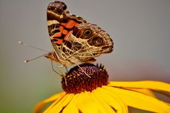 A butterfly feading on a yellow flower Royalty Free Stock Photography