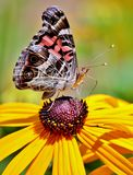 A butterfly feading on a yellow flower Stock Images