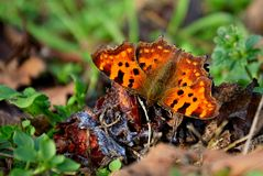 Butterfly feasting on fallen plums Royalty Free Stock Photo