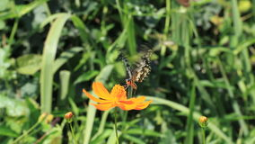 Butterfly feed on marigold stock video