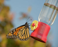 Butterfly at feeder. Stock Photo