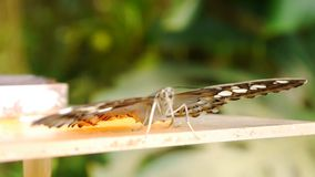 Butterfly on feeder. Tropical butterfly on small feeder stock video footage