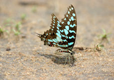 Butterfly Feeding. An aqua shaded butterfly probing the ground Stock Photography