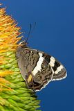 Butterfly feeding Royalty Free Stock Image