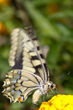 Butterfly feeding Royalty Free Stock Photos
