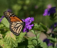 Butterfly feeding. A monarch butterfly feeding off a flower royalty free stock images