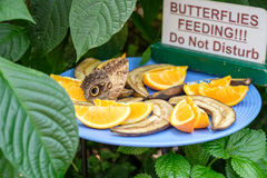 Butterfly feeding. Beautiful brown butterfly feeding on fruits (oranges and bananas stock photos