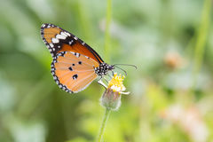 Butterfly feeding. A beautiful butterfly, shot in garden at Angthong,Thailand Stock Photo
