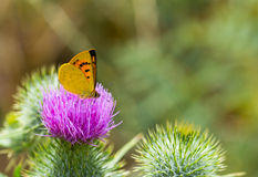 Butterfly feeding on Bull Thistle Royalty Free Stock Image