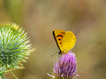 Butterfly feeding on Bull Thistle Royalty Free Stock Photos
