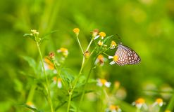 Butterfly Feeding Daisies Royalty Free Stock Photos