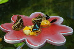 Butterfly feeding exhibit Stock Images