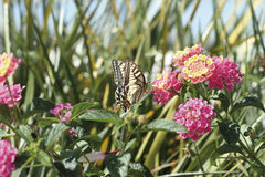 Butterfly feeding. A butterfly feeding on a flower stock images