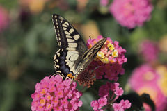 Butterfly. A butterfly feeding on a flower royalty free stock image