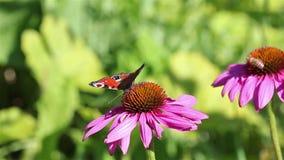 Butterfly feeding stock video footage