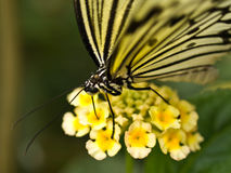 Butterfly feeding on flower Stock Images