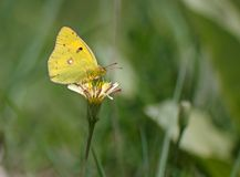 Butterfly feeding on a flower Royalty Free Stock Photography