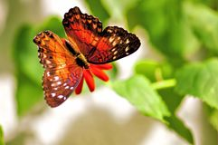Butterfly feeding on flower in aviary Stock Photography