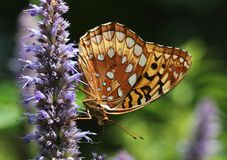 Butterfly feeding on flower. A brown butterfly feeding on a purple flower royalty free stock photography