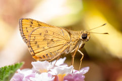 Butterfly feeding on flower Royalty Free Stock Photo