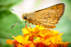 Butterfly feeding on flower Royalty Free Stock Images