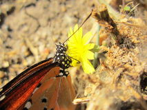 Butterfly feeding on Flower nector closeup Royalty Free Stock Photography