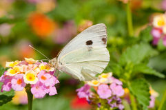 Butterfly feeding on flowers. Details of a white butterfly perched and feeding on blooming flowers Royalty Free Stock Photo