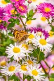 Butterfly Feeding on Flowers. Butterfly flying a round the flower in the city Royalty Free Stock Photography
