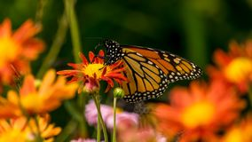 Butterfly Feeding on Flowers. Butterfly flying a round the flower in the city Royalty Free Stock Image