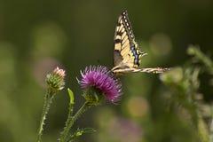 Butterfly feeding on flowers. Summer Meadow. Butterfly feeding on flowers of dandelion royalty free stock photos
