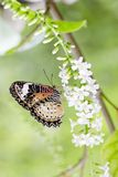 Butterfly feeding on  flowers, swarm flowers Royalty Free Stock Image